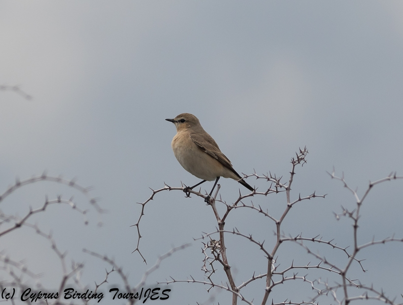 Isabelline Wheatear, Kiti, 20th February 2018 (c) Cyprus Birding Tours