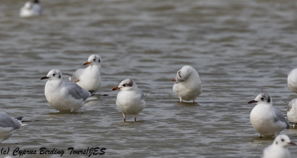 Mediterranean Gull, Lady's Mile 10th February 2018 (c) Cyprus Birding Tours
