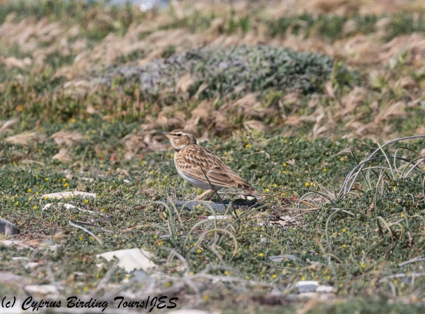 Bimaculated Lark, Akrotiri Gravel Pits 11th March 2018 (c) Cyprus Birding Tours