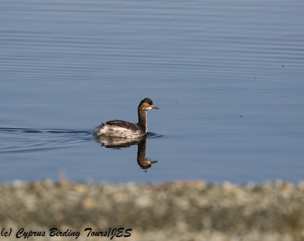 Black-necked Grebe, Larnaca Sewage Works 15th March 2018 (c) Cyprus Birding Tours