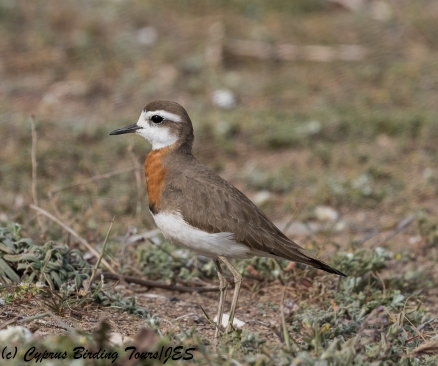 Caspian Plover 3, Mandria 15th March 2018 (1 of 1)