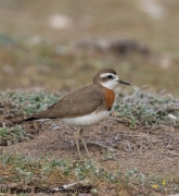Caspian Plover 7, Mandria 15th March 2018 (1 of 1)