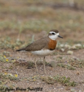 Caspian Plover 8, Mandria 15th March 2018 (1 of 1)