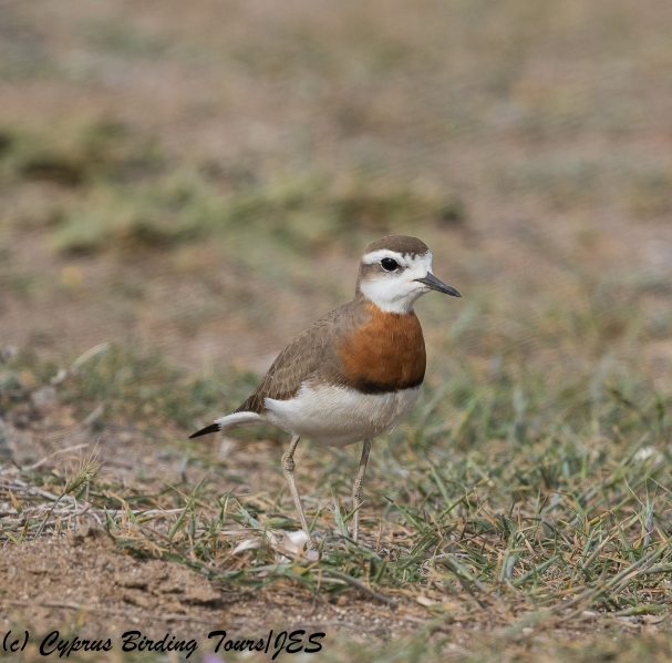 Caspian Plover, Mandria 15th March 2018 (1 of 1)