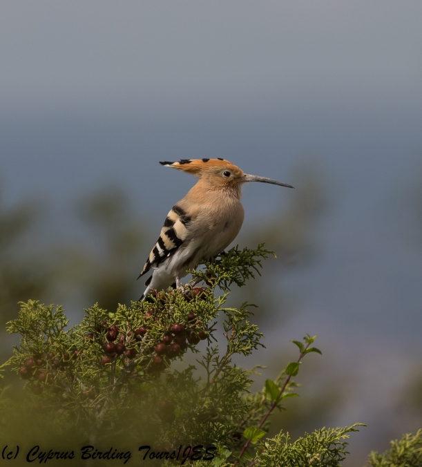 Common Hoopoe, Lady's Mile 10th March 2018 (c) Cyprus Birding Tours