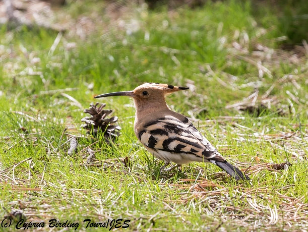 Common Hoopoe. Livadi tou Pashia 22nd March 2018 (c) Cyprus Birding Tours
