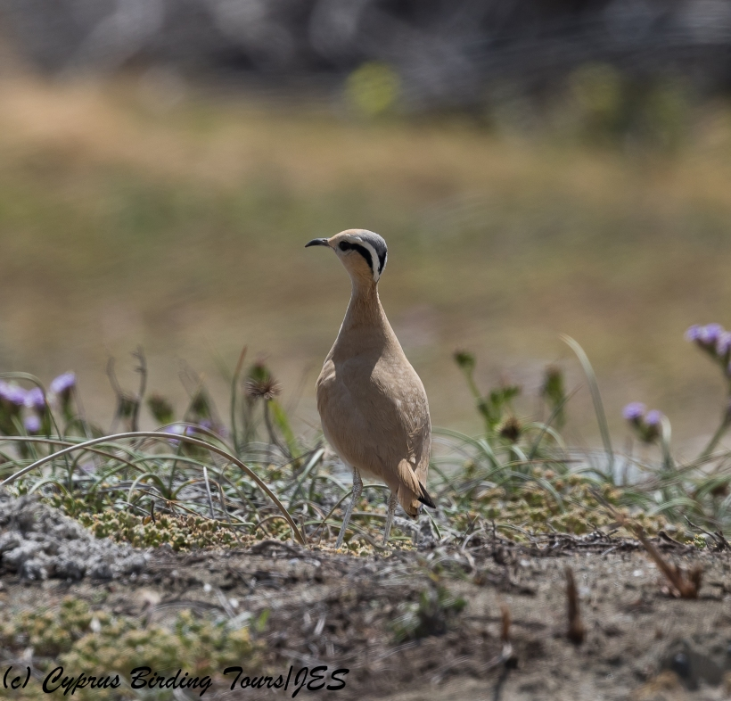 Cream-coloured Courser, Akrotiri Gravel Pits 24th March 2018 (c) Cyprus Birding Tours