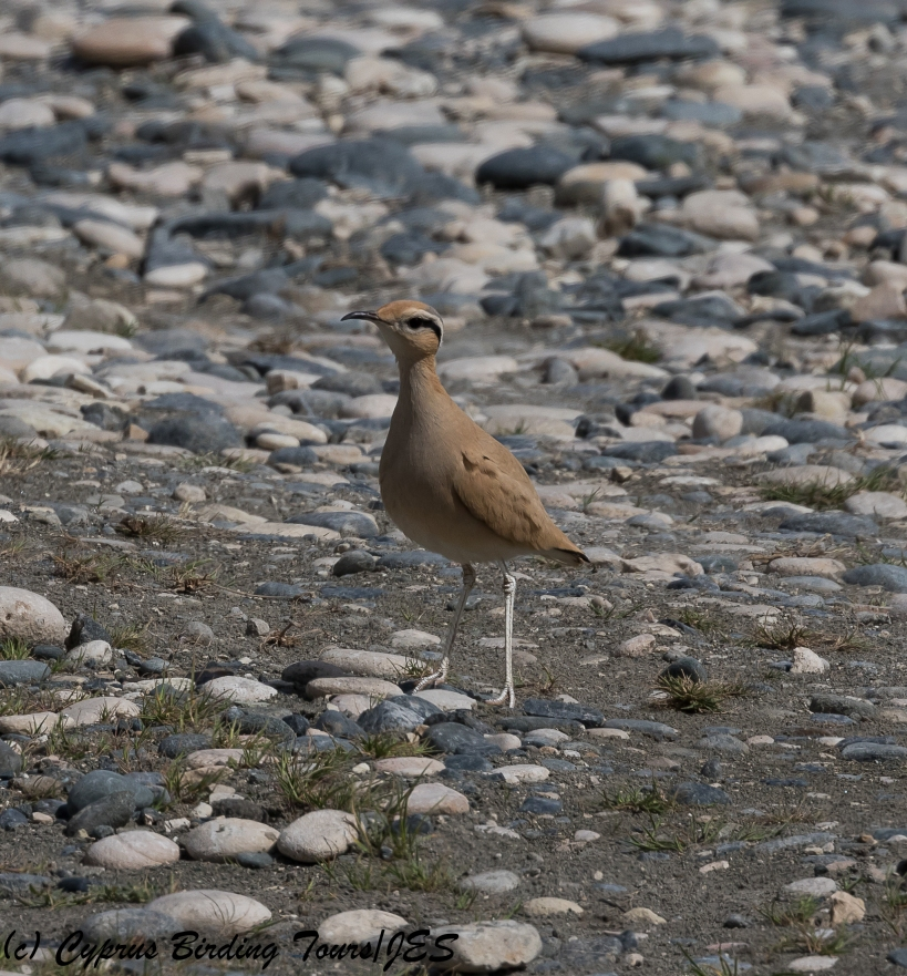 Cream-coloured Courser 7, Akrotiri Gravel Pits 24th March 2018 (1 of 1)