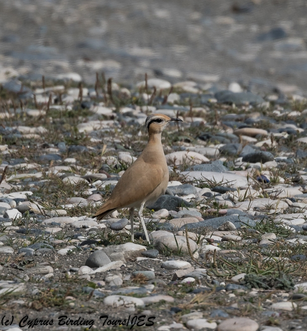 Cream-coloured Courser 8, Akrotiri Gravel Pits 24th March 2018 (1 of 1)