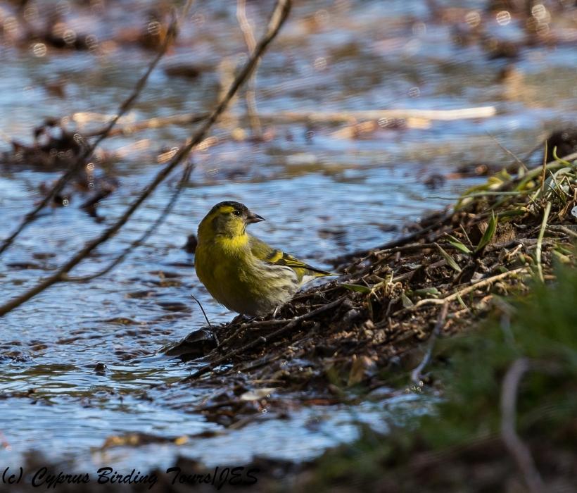 Eurasian Siskin, Troodos 1st March 2018 (Cyprus Birding Tours)