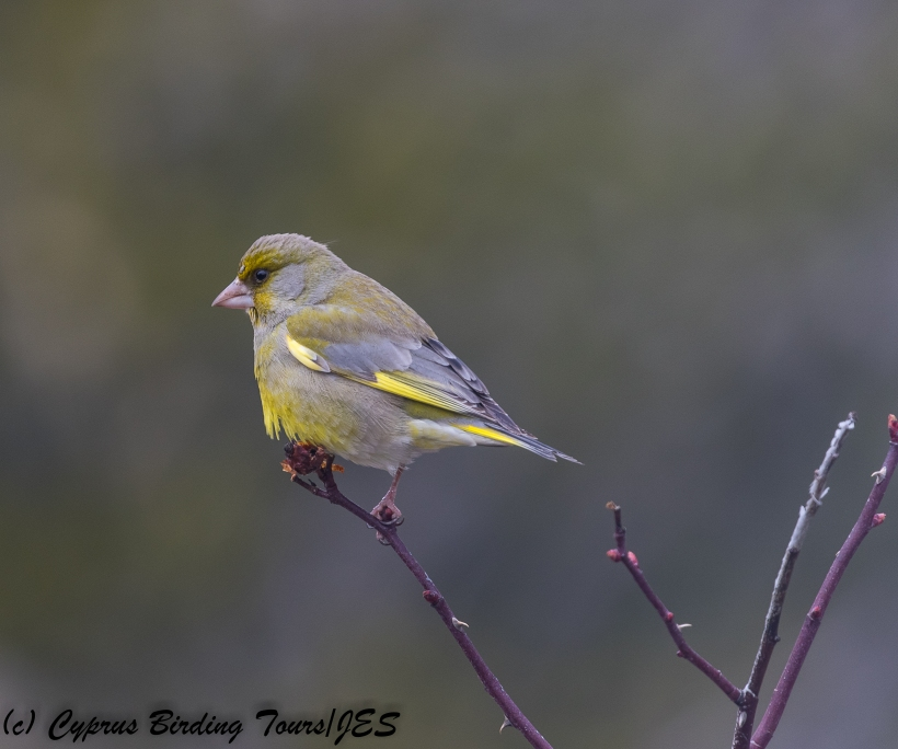 European Greenfinch, Troodos 1st March 2018 (Cyprus Birding Tours)