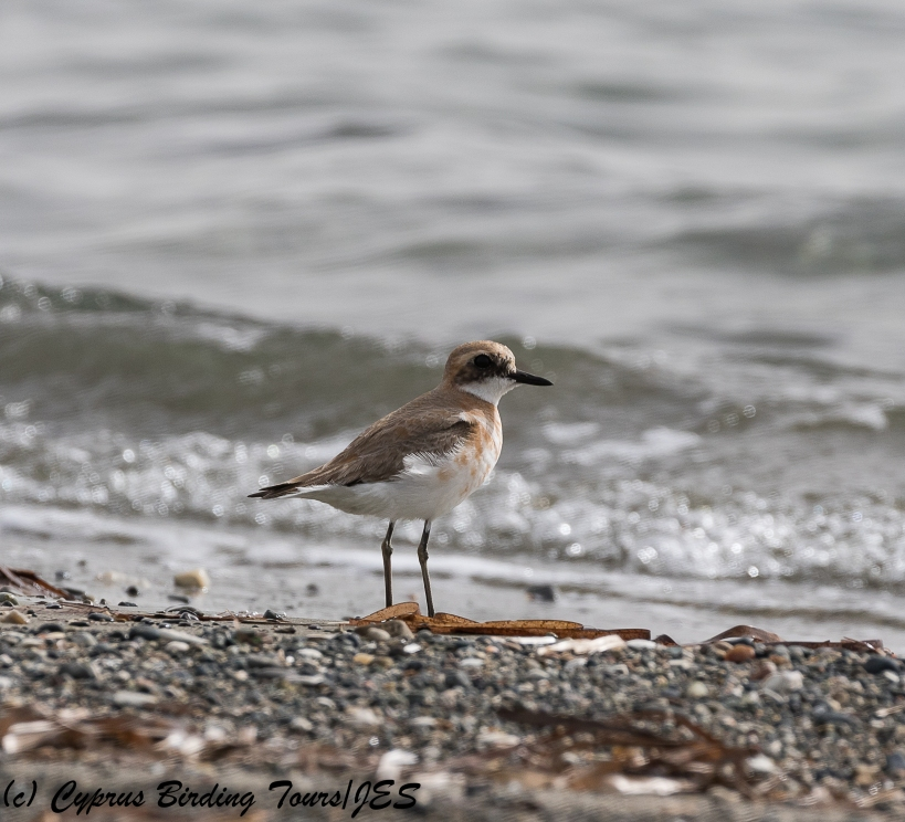 Greater Sandplover, Spiros Beach, 5th March 2018 (c) Cyprus Birding Tours