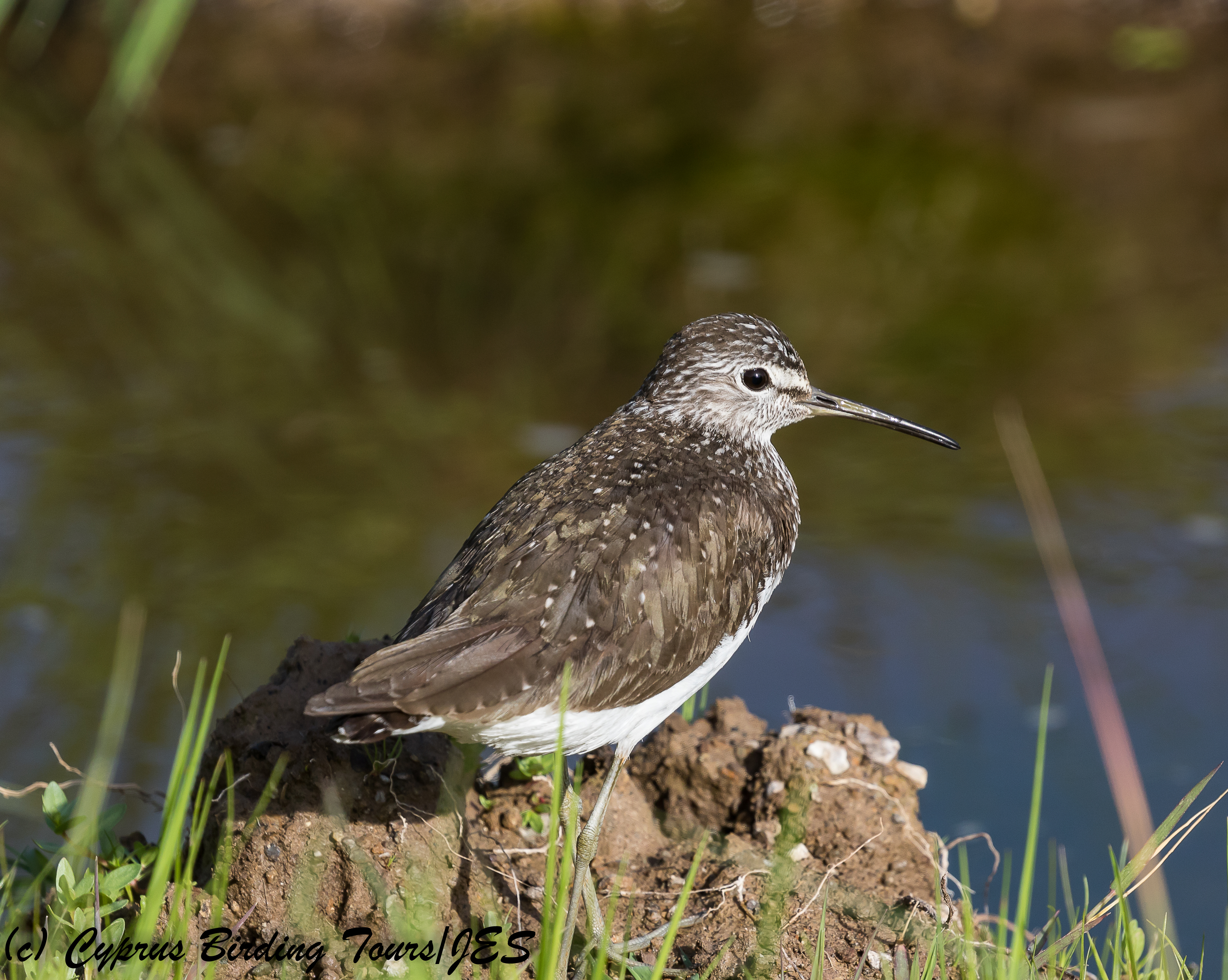 Green Sandpiper,  Anarita Park 21st March 2018 (c) Cyprus Birding Tours