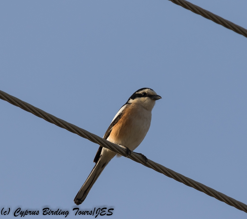 Masked Shrike, Agia Napa Sewage Works, 27th March 2018 (1 of 1)