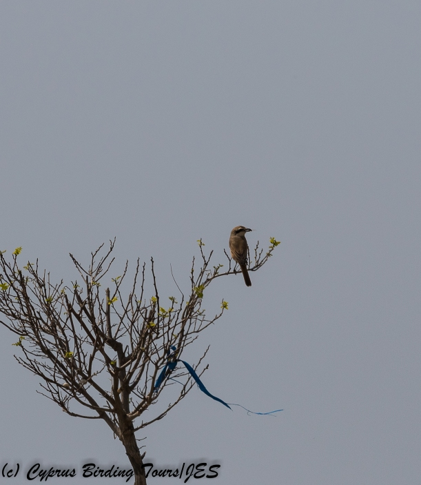 red-tailed Shrike 2, Kiti area 19th March 2018 (1 of 1)