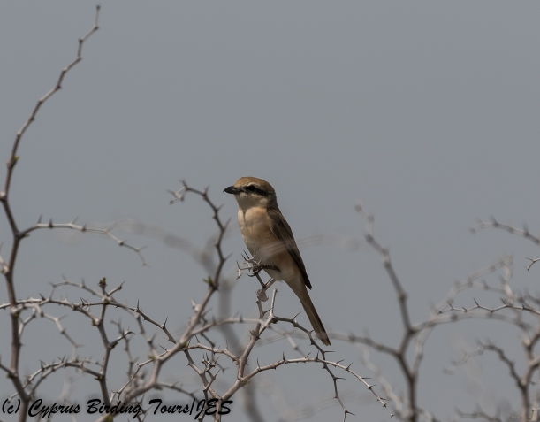 red-tailed Shrike, Kiti area 19th March 2018 (1 of 1)