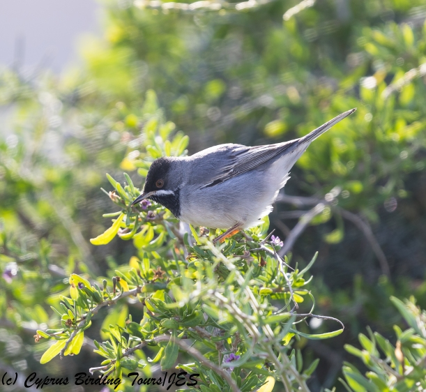 Ruppell's Warbler,  Cape Greco 9th March 2018 (c) Cyprus Birding Tours
