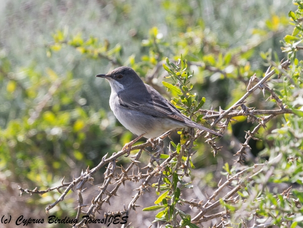 Ruppell's Warbler female  Cape Greco 9th March 2018 (c) Cyprus Birding Tours