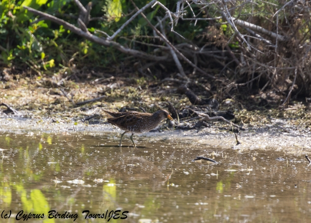 Spotted Crake, Paralimni Lake 27th March 2018 (1 of 1)