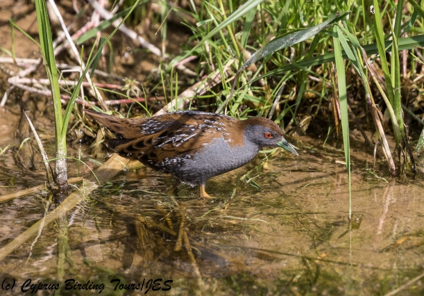 Baillon's Crake, Agia Varvara 15th April 2018 (c) Cyprus Birding Tours