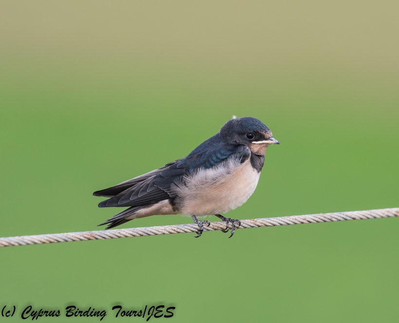 Barn Swallow , Pervolia 21st April 2018 (c) Cyprus Birding Tours