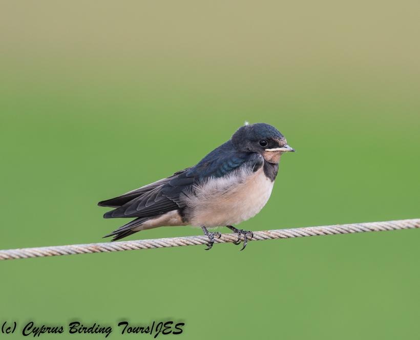 Barn Swallow , Pervolia 21st April 2018 (c) Cyprus Birding Tours