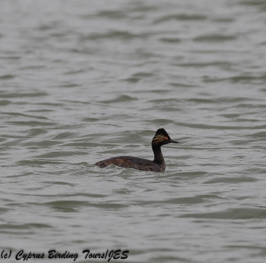 Black-necked Grebe, Achna Dam, 10th April 2018 (c) Cyprus Birding Tours