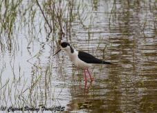 Black-winged Stilt, Akhna Dam 10th April 2018 (1 of 1)