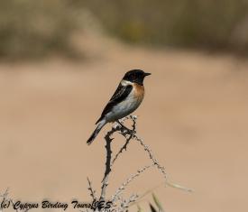 Caspian Stonechat , Cape Greco 3rd April 2018 (c) Cyprus Birding Tours