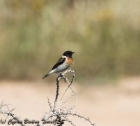 Caspian Stonechat, Cape Greco 3rd April 2018 (1 of 1)