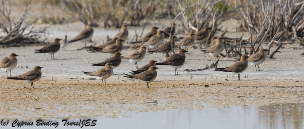 Collared Pratincole, Akrotiri Salt Lake 28th April 2018 (c) Cyprus Birding Tours