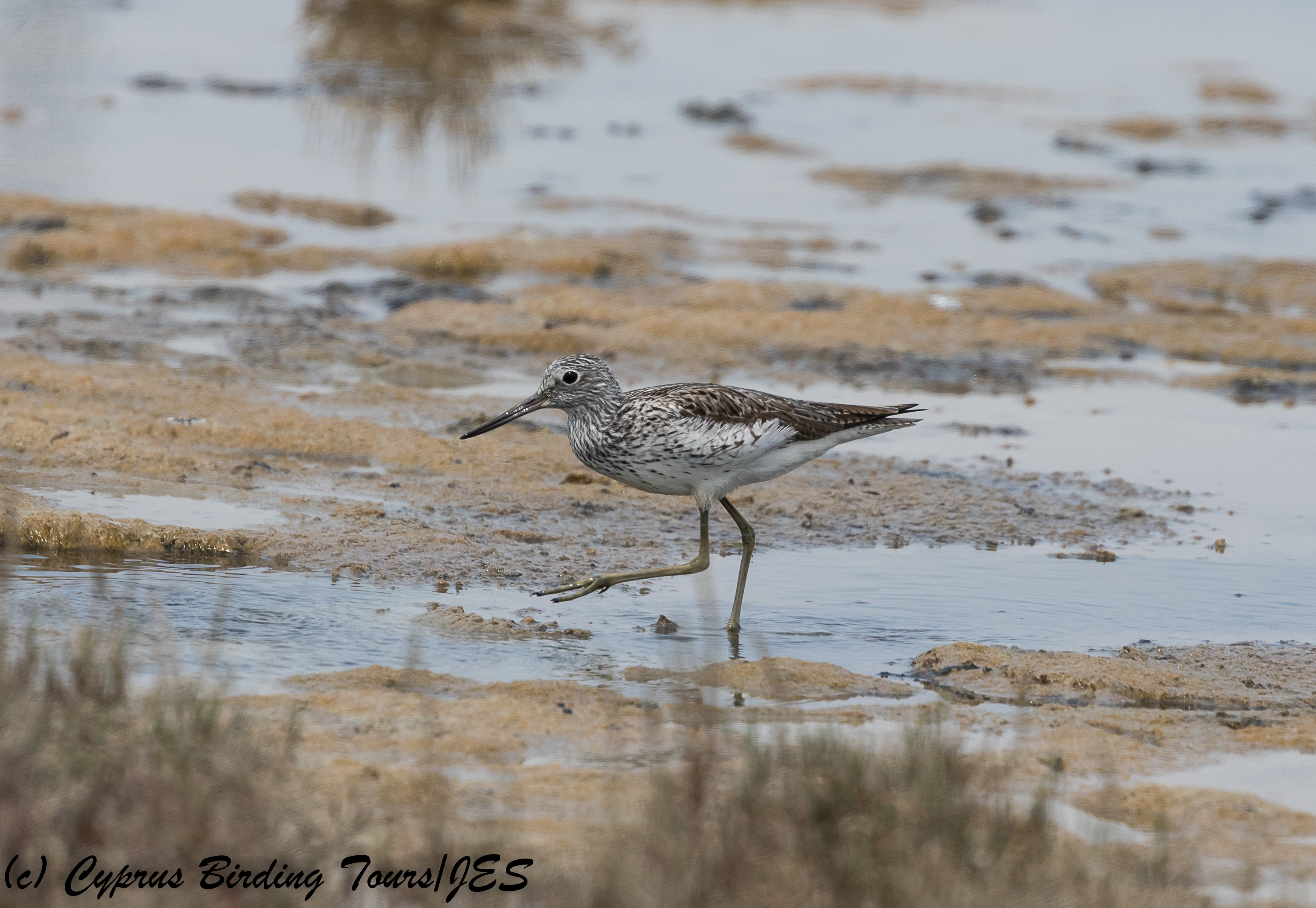 Common Greenshank, Lady's Mile 28th April 2018  (c) Cyprus Birding Tours