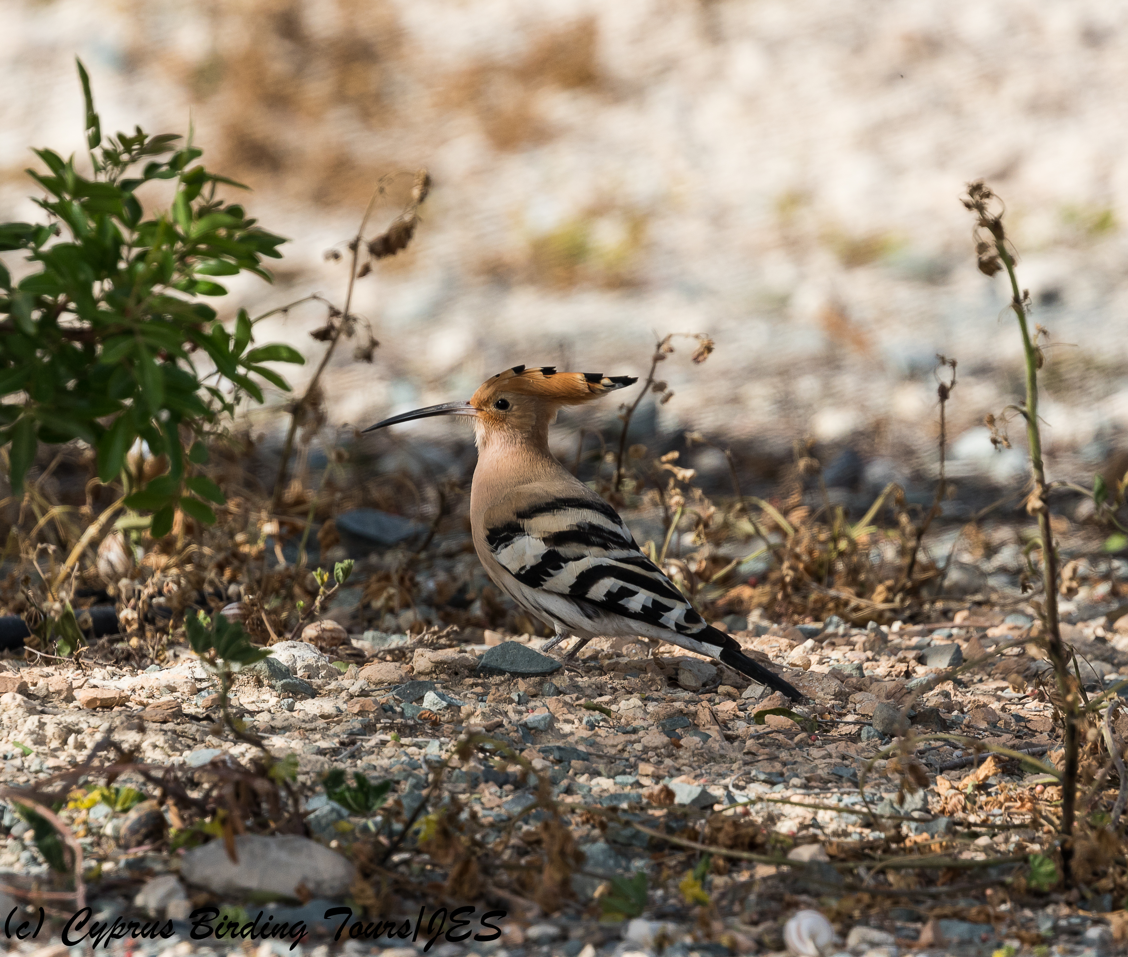 Common Hoopoe, Kivisili 2nd April 2018 (c) Cyprus Birding Tours