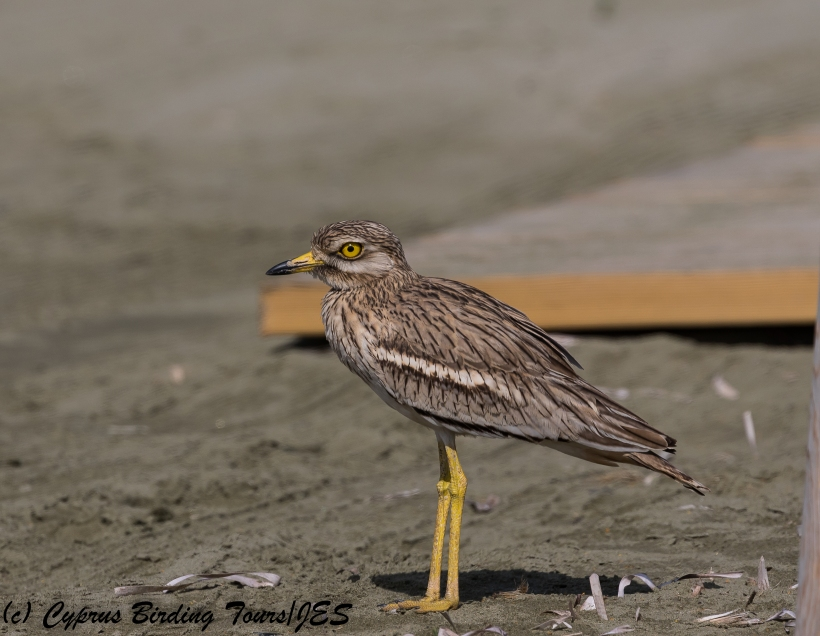 Eurasian Stone Curlew, Spiros Beach 2nd April 2018 (c) Cyprus Birding Tours