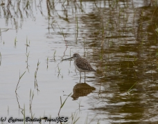 Marsh Sandpiper 2, Akhna Dam 10th April 2018 (1 of 1)