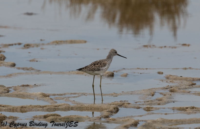 Marsh Sandpiper, Lady's Mile 28th April 2018 (c) Cyprus Birding Tours