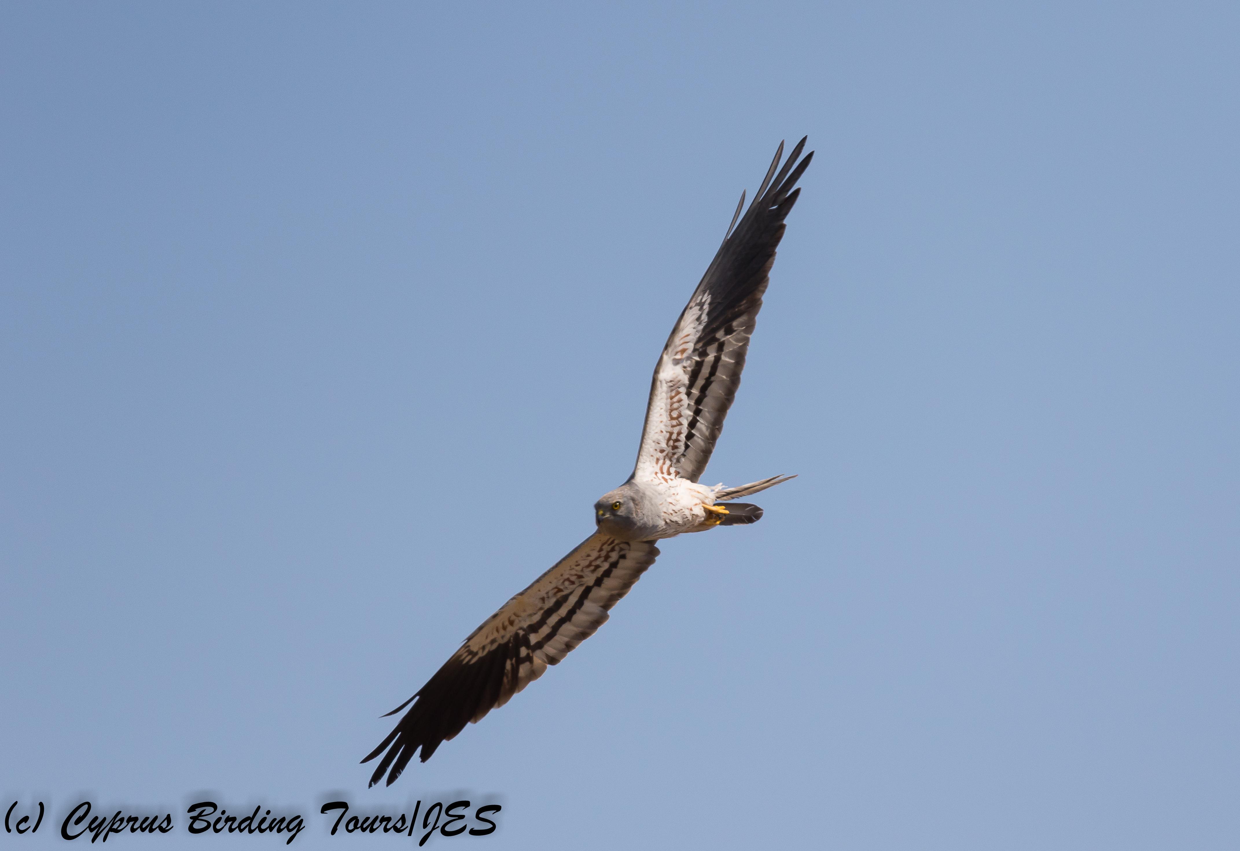 Montagu's Harrier, Kivisili 30th April 2018 (c) Cyprus Birding Tours