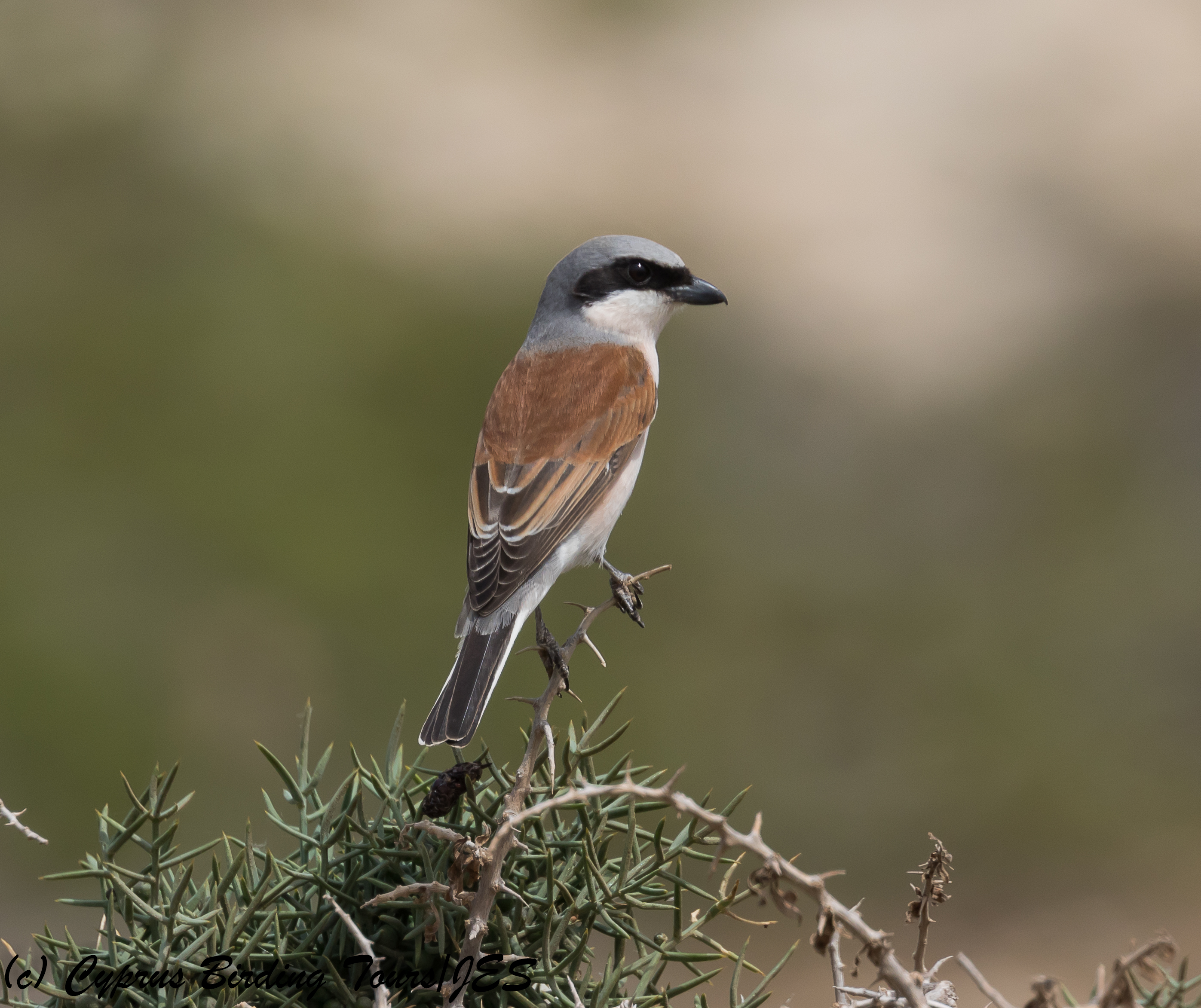 Red-backed Shrike, Cape Greco 26th April 2018 (c) Cyprus Birding Tours