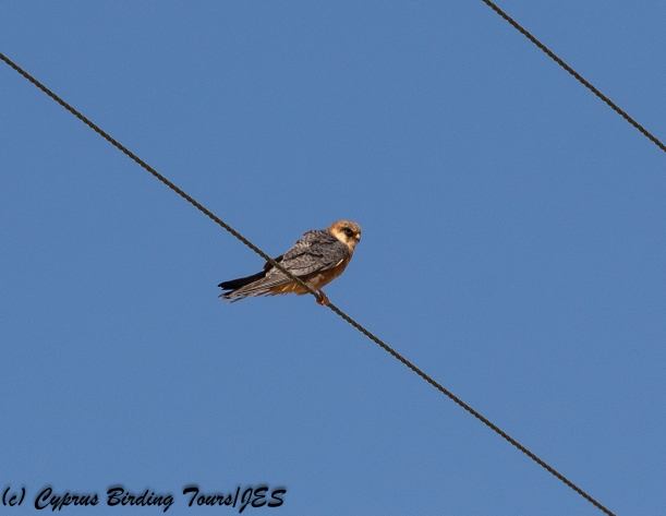 Red-footed Falcon, Kivisili 22nd April 2018 (c) Cyprus Birding Tours