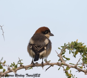 Woodchat Shrike 3, Cape Greco 10th April 2018 (1 of 1)