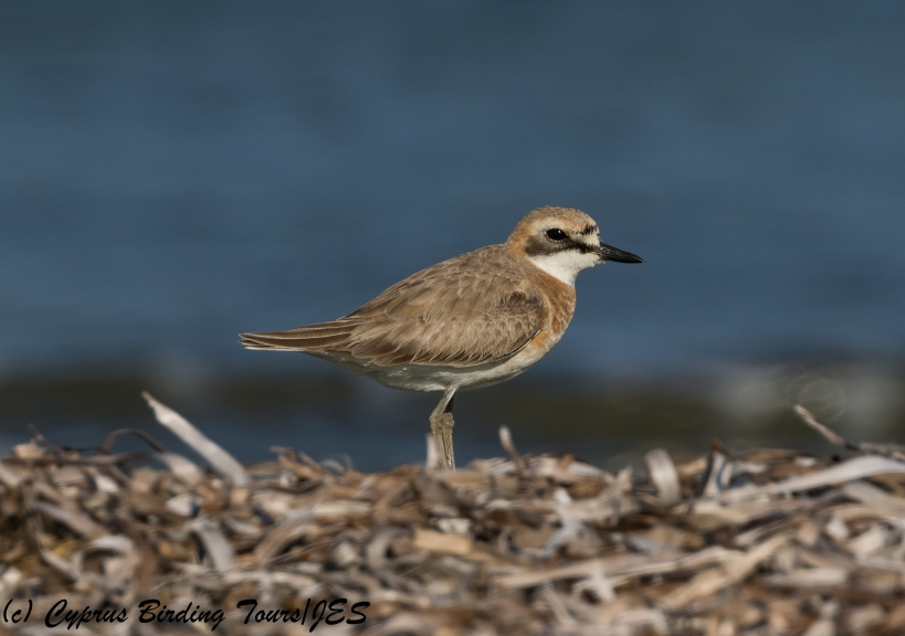 Greater Sandplover, Spiros Beach 15th May 2018 (c) Cyprus Birding Tours