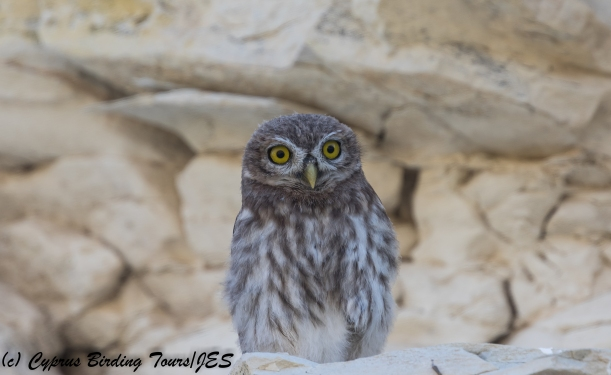 Juvenile Little Owl, Panagia Stazousa 14th May 2018 (c) Cyprus Birding Tours