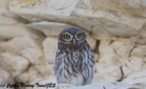 Juvenile Little Owl, Panagia Stazousa 14th May 2018 (c) Cyprus Birding Tours
