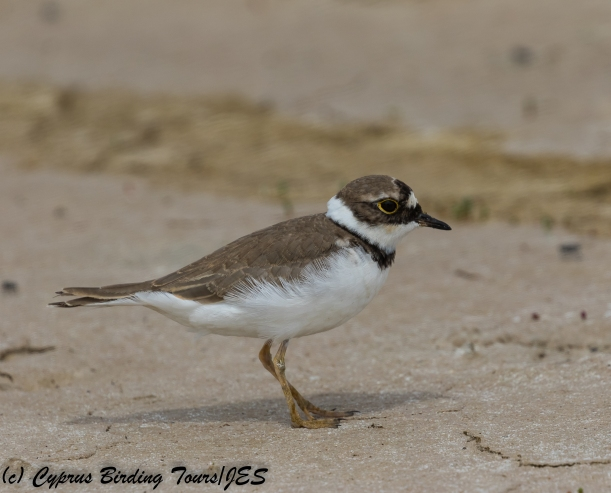Little Ringed Plover, Akrotiri 7th May 2018 (c) Cyprus Birding Tours