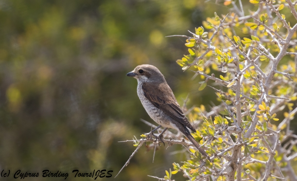 Female Red-backed Shrike, Akrotiri 7th May 2018 (c) Cyprus Birding Tours