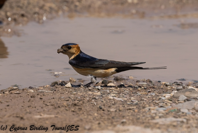Red-rumped Swallow, Nata 10th May 2018 (c) Cyprus Birding Tours
