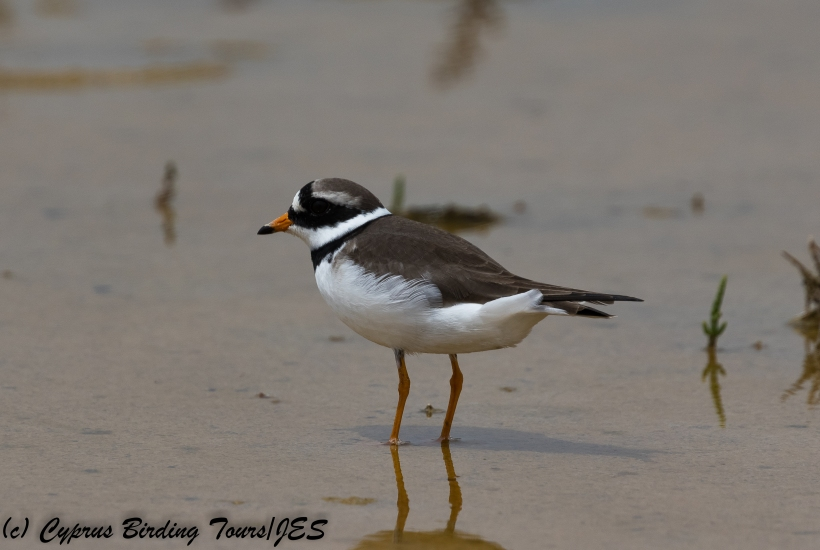 Ringed Plover, Akrotiri 7th May 2018 (c) Cyprus Birding Tours