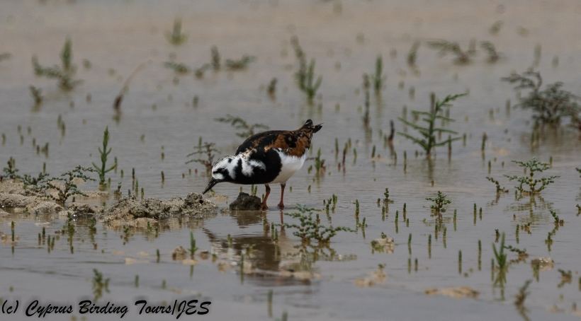 Ruddy Turnstone, Akrotiri 7th May 2018 (c) Cyprus Birding Tours