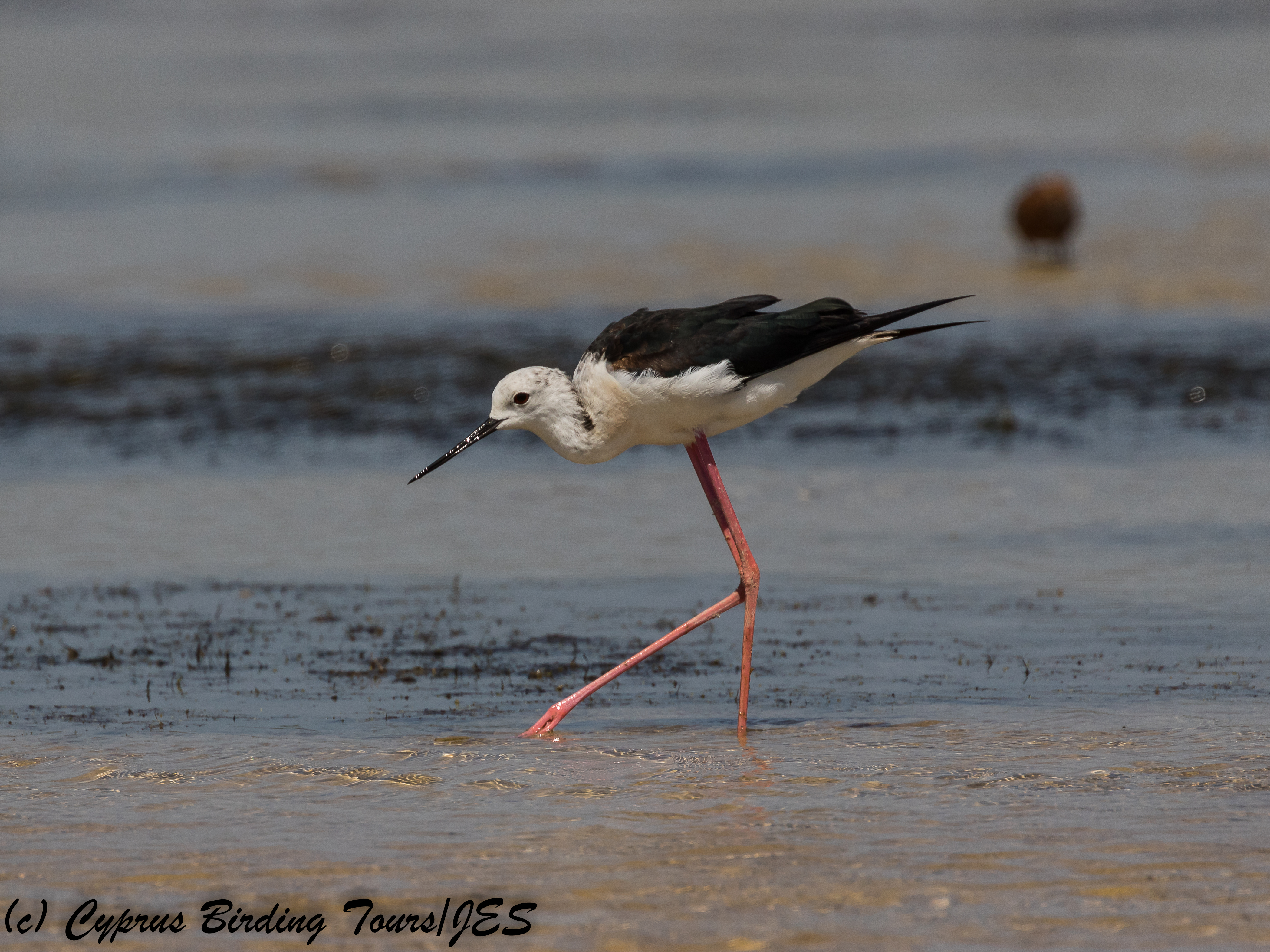 Black-winged Stilt, ASL, 6th July 2018 (c) Cyprus Birding Tours