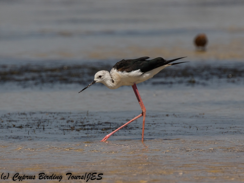 Black-winged Stilt, ASL, 6th July 2018 (c) Cyprus Birding Tours